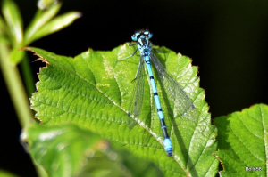 Possibly a male Azure Damselfly